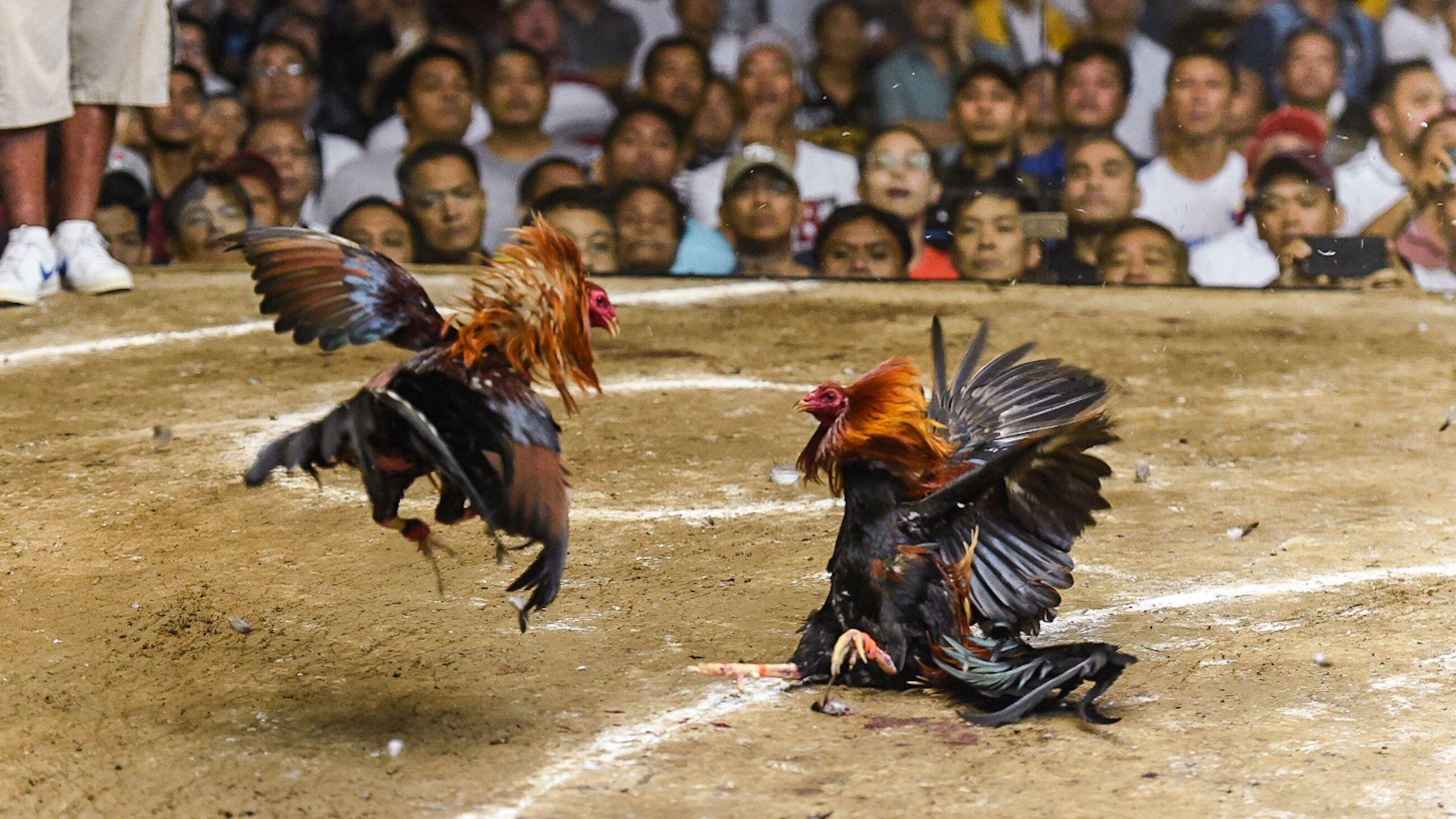 20180307_cockfight_birds-fighting.jpg