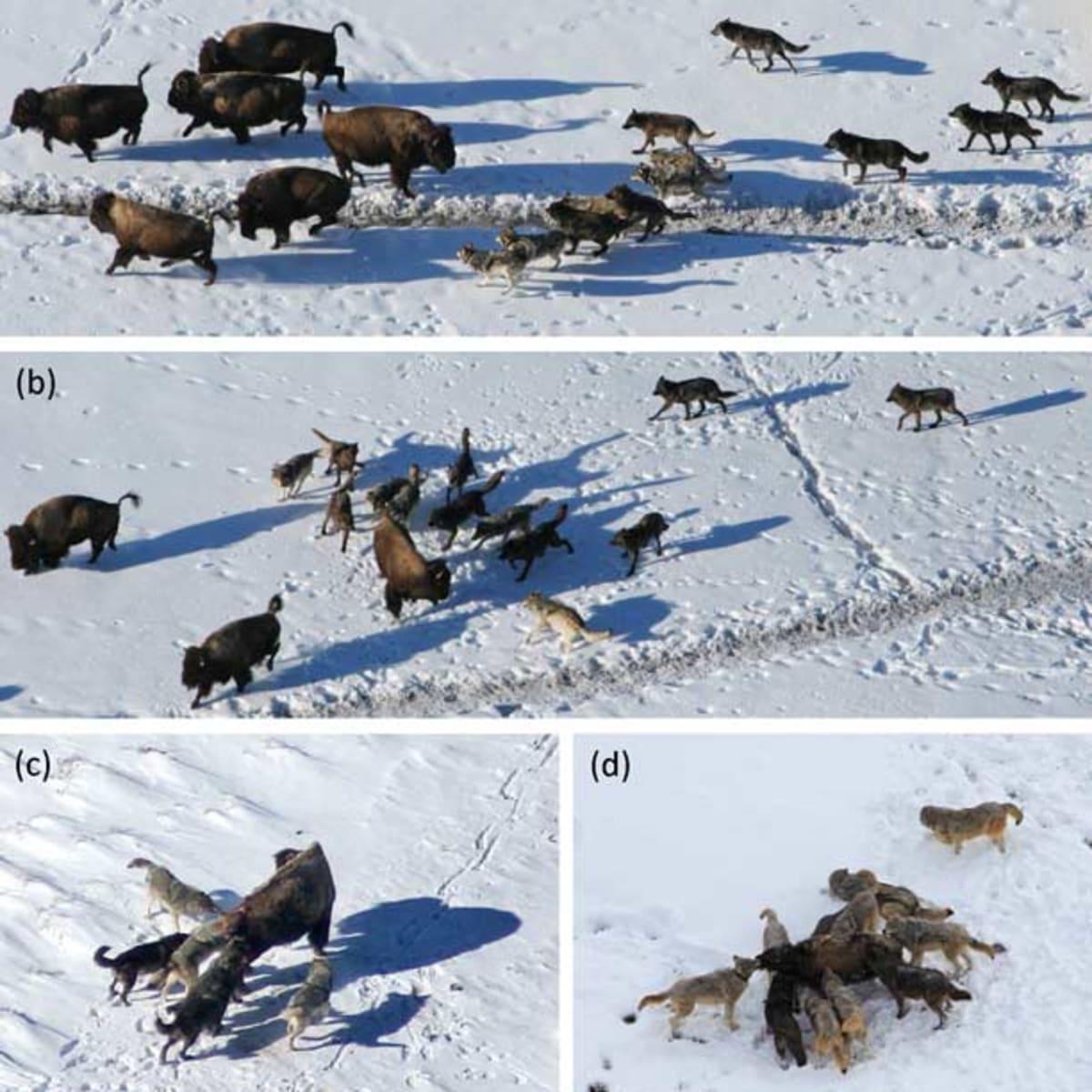 wolf-hunt-study_plos_612x676.jpg